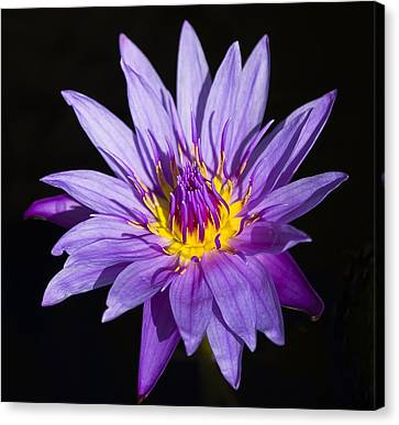 Purple Lilly Canvas Print by Sean Allen
