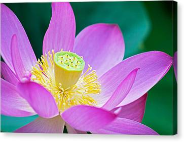 Purple Lotus Blossom Canvas Print by Michael Porchik