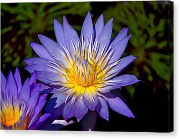Purple Lotus Close Up Canvas Print