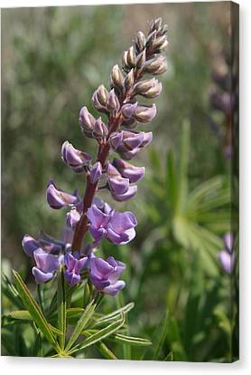 Purple Lupine Canvas Print by Jenessa Rahn