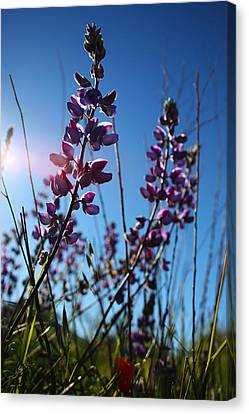 Canvas Print featuring the photograph Purple Lupine by Richard Stephen