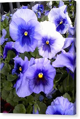 Canvas Print featuring the photograph Purple Morning Glory by Fortunate Findings Shirley Dickerson
