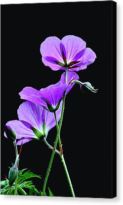 Purple On Black Canvas Print by Diane Merkle