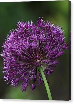 Canvas Print featuring the photograph Purple Onion by Bill Woodstock