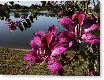 Purple Orchid Tree  Canvas Print by Regina  Williams
