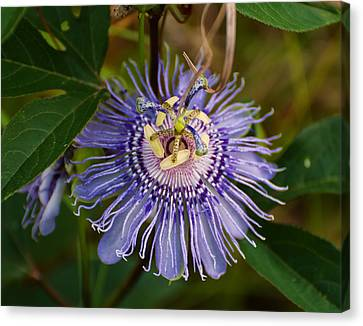 Purple Passion Flower Canvas Print by Chris Flees