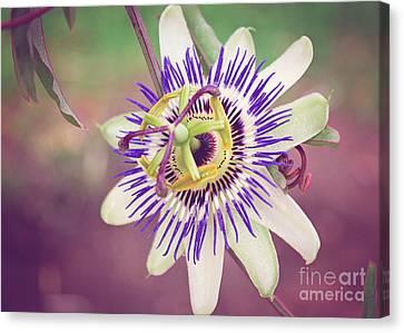 Purple Passion Flower Canvas Print by Janice Rae Pariza