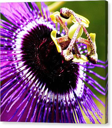 Purple Passion Flower V2 Canvas Print by Karen Anderson