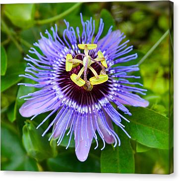 Purple Passion Flower Canvas Print by Venetia Featherstone-Witty