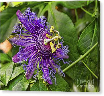 Purple Passion Canvas Print by Gary Holmes