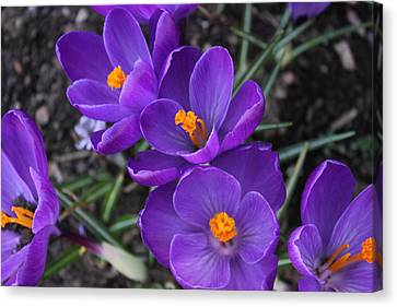 Canvas Print featuring the photograph Purple Passion by Judy Palkimas