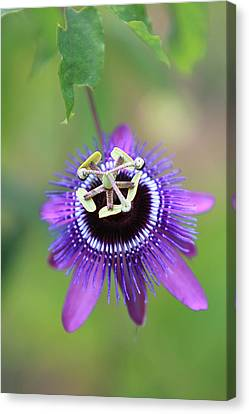 Purple Passionflower Canvas Print by Alex Galiano