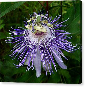Purple Passionflower Canvas Print by William Tanneberger