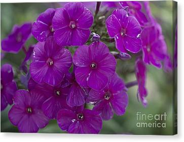 Phlox Canvas Print - Purple Phlox by David Bearden