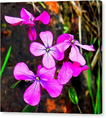 Purple Lunaria Canvas Print