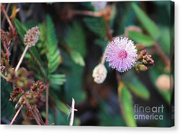 Purple Pom Pom Canvas Print by Craig Wood