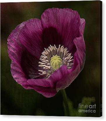 Canvas Print featuring the photograph Purple Poppy by Vicki DeVico