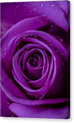 Purple Rose Close Up Canvas Print by Garry Gay