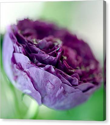 Purple Rose Canvas Print by Frank Tschakert