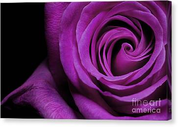 Purple Roses Closeup Canvas Print by Boon Mee