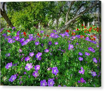 Purple Rozanne Geraniums 001 Canvas Print by Lance Vaughn