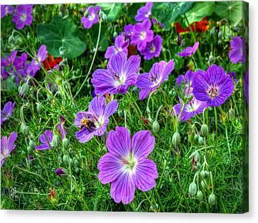 Purple Rozanne Geraniums 002 Canvas Print by Lance Vaughn