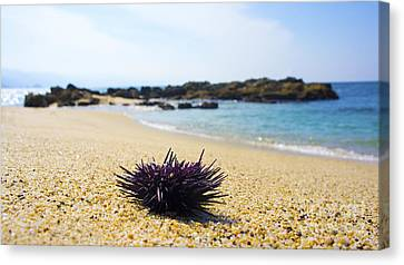 Purple Seastar Canvas Print by Aged Pixel