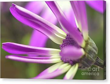 Purple Senetti I Canvas Print by Cate Schafer