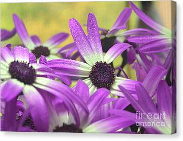 Purple Senetti IIi Canvas Print by Cate Schafer