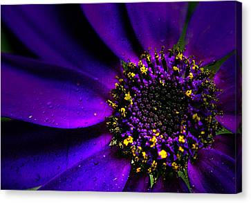 Purple Senetti In Macro Canvas Print by Rosanna Zavanaiu
