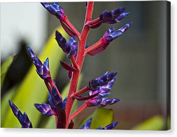 Bromeliad Canvas Print - Purple Spike Bromeliad by Sharon Cummings