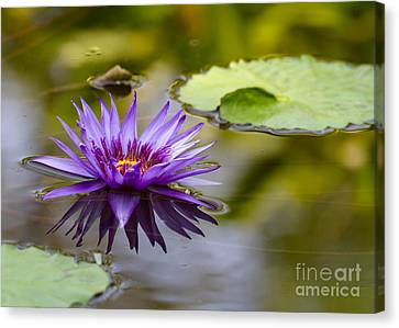 Purple Spiked Water Lily Canvas Print by Sabrina L Ryan