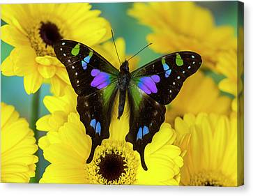 Purple Spotted Swallowtail Butterfly Canvas Print