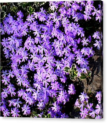 'purple Springtime' Canvas Print