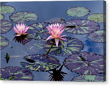 Waterlily With Purple Striped Lily Pads Canvas Print