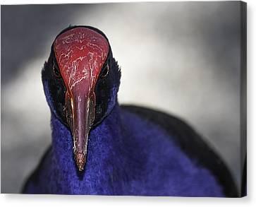 Animals Canvas Print - Purple Swamphen Portrait by Mr Bennett Kent