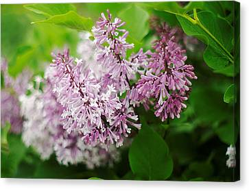 Canvas Print featuring the photograph Purple Syringa Flowers by Suzanne Powers