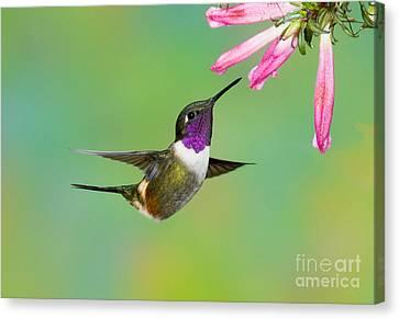Purple-throated Woodstar Canvas Print by Anthony Mercieca