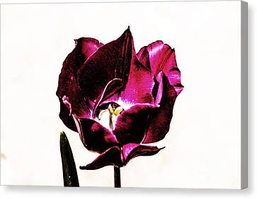 Purple Tulip Canvas Print by Angela DeFrias