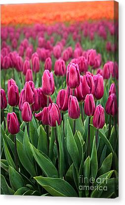 Purple Tulips Canvas Print by Inge Johnsson