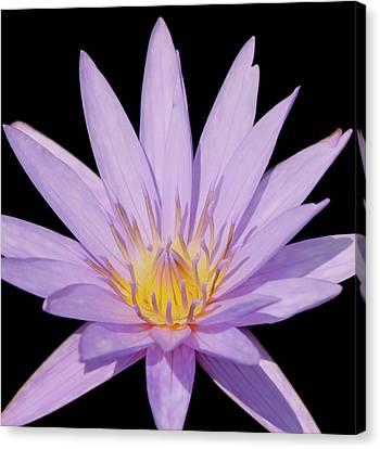 Purple Water Lily Canvas Print by Kim Hojnacki