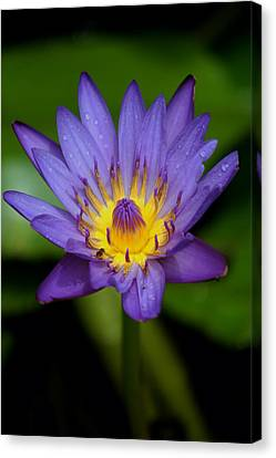 Purple Water Lily Canvas Print by Pamela Walton