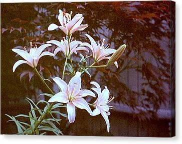 Purple/white Lily Canvas Print