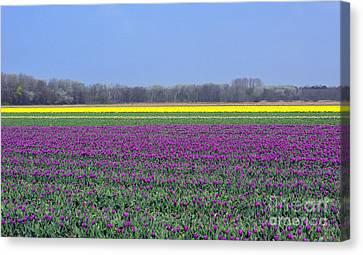 Purple With Golden Lining. Fields Of Tulips Series Canvas Print by Ausra Huntington nee Paulauskaite