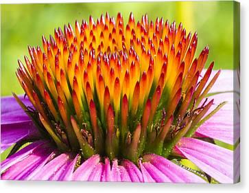 Mothersday Canvas Print - Purple Cone Flower - Echinecea by Steven Ralser