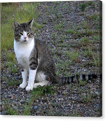 Purr-fectly Posed Canvas Print by Kent Lorentzen