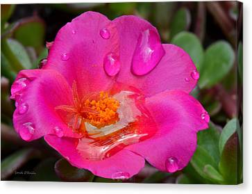 Purslane Flower In The Rain Canvas Print by Sandi OReilly
