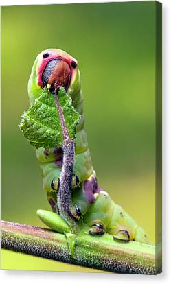 Puss Caterpillar Canvas Print - Puss Moth Caterpillar by Alex Hyde
