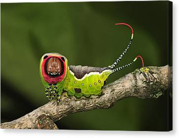 Puss Caterpillar Canvas Print - Puss Moth Caterpillar Switzerland by Thomas Marent