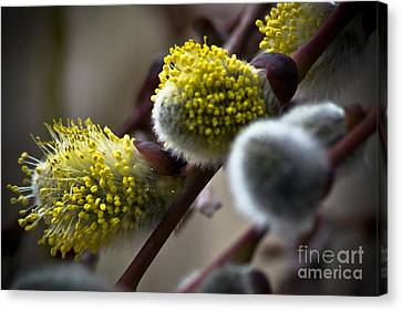 Pussy Willow 5 Canvas Print